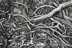 Roots & rock (jonathan charles photo) Tags: bw abstract art topf25 rock photo jonathan roots charles shore bermuda jonathancharles
