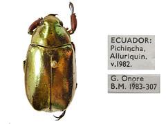 Chrysina argenteola (Bates, 1888) : Scarabaeidae: Rutelinae (NHM Beetles and Bugs) Tags: scarab coleoptera chrysina