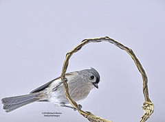 Tufted Titmouse 75 (smileyoakimages) Tags: wild bird nature outdoors perched titmouse