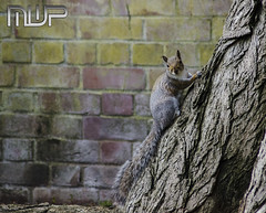 DSC_3091 (mikewarnerphotography) Tags: squirrel grove carshalton mwp
