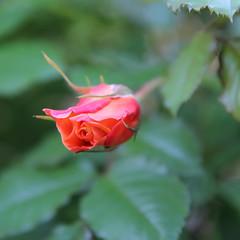 Red Rose (Been Around) Tags: red rose sterreich europa europe travellers redrose eu sr obersterreich europeanunion steyr o upperaustria steyrdorf onlyyourbestshots img2397 concordians thisphotorocks expressyourselfaward