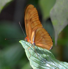 dryas iulia closed wings in the sun (brigitte.watz) Tags: butterfly insect insekt orangebutterfly vliegendehollander flambeau dryasiulia juliabutterfly juliaheliconian theflame longlivedanddayactivebutterfly picturefromabutterflyhouse