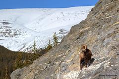 Rocky Ram... (820-Photography by James Anderson) Tags: bighornsheep icefieldsparkway canadianrockymountains bighornram canadianwildlife jaspernationalparkalberta