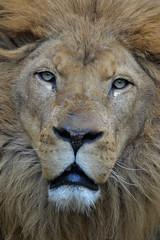 Tonga @ Dierenpark Amersfoort 09-03-2016 (Maxime de Boer) Tags: cats animals zoo big leo african lion dieren tonga amersfoort dierentuin leeuw dierenpark panthera afrikaanse katachtigen