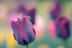 even a rainy day can make you smile (StadtKind - capture the Bokeh) Tags: plant flores flower fleur rain germany bavaria droplets europe dof tulips bokeh sony depthoffield tulip a7 regen wassertropfen tropfen schrfentiefe kempten samyang 1352 smoothbokeh bokehlicious silkybokeh walimexpro sonya7 sonyilce7 samyangpro1352