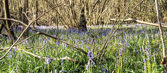 Bluebells in Micheldever Wood (neilalderney123) Tags: wood flowers bluebells landscape olympus hampshire micheldever 2016neilhoward