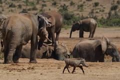 Suedafrika-59 (Lukas P Schmidt) Tags: elephant addo nationalpark warthog elephantpark