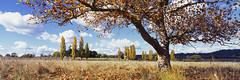 The Autumn Tree (Martin Canning) Tags: 617 australia autumn fujig617 g617 gleninnes martincanning martincanningcom newengland newsouthwales autumnalcolours clouds landscape light mediumformat orange panorama panoramic photography velvia velvia50