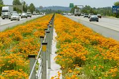 Flowers are a safety reminder (OregonDOT) Tags: salem odot interstate5 goorange oregondot goorangeforsafety