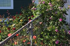 Roses in May (Gordana AM) Tags: roses summer canada rose club vancouver garden photography evening photo photographer bc pacific gardening landscaping many britishcolumbia may coquitlam dogwood fraser society bushes shrubs portcoquitlam gordana profusion lowermainland pavilon lepiafgeo wwwgordanaphotocom gordanamladenovic