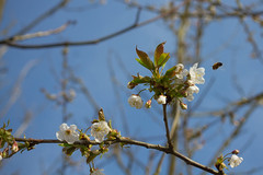 Appletree in bloom (mightymightymatze) Tags: france apple frankreich blossom bee alsace blte apfel vosges elsass appletree apfelbaum biene inbloom vogesen