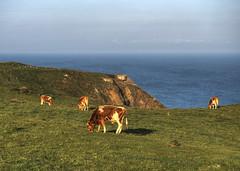 Cows grazing on Alderney (neilalderney123) Tags: grass landscape cow cattle cows nazi bunker alderney 2016neilhoward