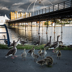 An evening stroll (tabulator_1) Tags: geese goslings southport southportpier