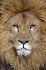 Simba @ Stichting Leeuw 05-03-2016 (Maxime de Boer) Tags: cats animals zoo big leo african lion foundation simba dieren stichting dierentuin leeuw dierenpark panthera landgoed afrikaanse katachtigen hoenderdaell
