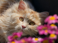 Linus in the daisies (FocusPocus Photography) Tags: pink flowers pet animal daisies cat chat blumen linus lazy gato katze haustier kater tier faul margeriten
