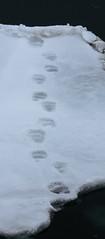 Bear tracks (TallGrass-IA) Tags: snow nature norway lumix panasonic svalbard arctic micro g6 43 linblad 1235 expeditions mirrorless