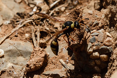 Potter Wasp (Moonrhino) Tags: crete potterwasp