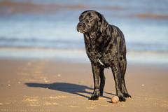 This is my ball... (Marcus Legg) Tags: shadow dog black max beach wet canon fur outdoors eos seaside sand lab shiny labrador waves bokeh retriever blacklabradorretriever wetdog 1dmarkiv marcuslegg