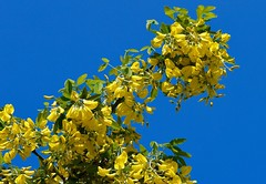 Laburnum Anagyroides (rustyruth1959) Tags: wood flowers blue light sky tree green nature toxic leaves yellow rural petals bush nikon bright outdoor yorkshire bark bloom buds poison shrub nikkor root laburnum nikond3200 goldenchain