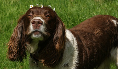 Charlie, my flower power dog. (Sandra Standbridge.) Tags: dog field daisies outdoor charlie englishspringerspaniel mydarlingdog thenaughtiestdogintheworld iamhispethuman