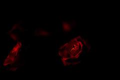 roses are red (Rainer Schund) Tags: morning light red roses nature mono nikon low natur rosen makro rote monoton nikond700 natureexploring