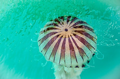 Jellyfish (Shane Jones) Tags: sea water nikon jellyfish wildlife 18200vr d7000