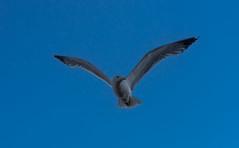 DSC00341-2 (UmitCukurel) Tags: turkey seagull sony turkiye istanbul pajaro bosphorus marti lightroom galata goldenhorn halic a7ii