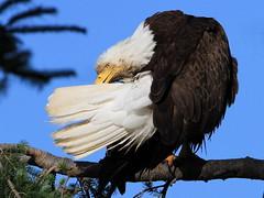 Last rays of the day.... (Paridae) Tags: eagle baldeagle baldeagleadult birdsofbritishcolumbia raptor baldeaglegrooming thingswithwings featheredfriends afewofmyfavouritethings canoneos7d birdsofprey vancouverisland fishingbirds