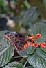 Blue morpho (arda292000) Tags: butterfly butterflies magicwings butterflyconservatory southdeerfieldma