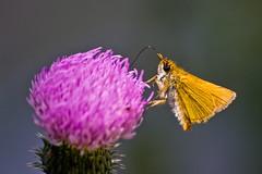 orange metallic (Denis Vandewalle) Tags: flower macro nature fleur butterfly papillon macrophotography pentaxk5