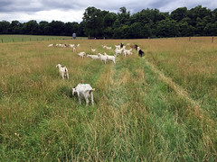 Grazing cool season perennials (baalands) Tags: test field grass season cool performance maryland goat meat pasture western kiko bucks herd grazing perennial paddock