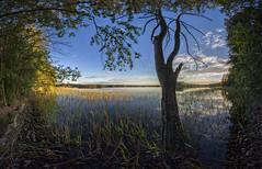 Old pine (Kari Siren) Tags: lake tree reed pine shore karijarvi