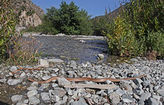 Rosy Boa (DevinBergquist) Tags: rosyboa boa herping fieldherping california southerncalifornia ca snake wildlife nature