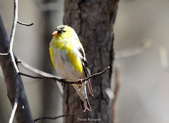 American Goldflinch (Pavan Kurapati) Tags: birds canon smallbirds cheesequakestatepark canonef100400mmf4556lisusm goldflinch americangoldflinch