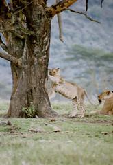 Sharpening the nails (Verte Ruelle) Tags: africa wild tree animal animals kenya wildlife lion safari bark lions kenia nakuru bigcats safara