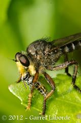 Robber Fly - Promachus bastardii (The Fantastic G) Tags: texas 2012 tomball harriscounty sbr200 nikonr1system nikond7000 sigma150mm28exapodghsmmacro sigma14xtcapodgex