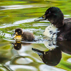 Brave new world (Steve-h) Tags: ireland dublin brown black green nature water birds yellow canon reflections lens mouse duck pond keyboard europa europe duckling eu telephoto handheld rest duckpond rsi bushypark whilte bravenewworld soreness steveh canonef100400mmf4556lisusm canoneos5dmkii canoneos5dmk2