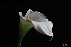 Pure White (Dalang55555) Tags: white flower canon eos calla 7d nocrop カラー sooc img0916 ef100mmmacrof28lisusm