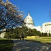Magnolias and the Capitol