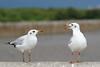 #850D2869- Gulls chat (Zoemies...) Tags: beach chat bokeh bangkok wildlife seagull bangpu fbdg zoemies