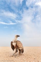 Eurasian Griffon Vulture (Najim J. Almisbah) Tags: nikon s kuwait vulture eurasian griffon d300  jassim najim              almisbah