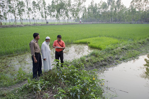 Producing mola in pond-rice field, Rangpur. Photo by Finn Thilsted