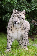 Snow Leopard 2 (Funky Foxy) Tags: lion snowleopard africanlion pantheraleo pantherauncia endangeredbigcats