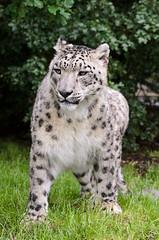 Snow Leopard 2 (Funky Foxy) Tags: lion snowleopard africanlion pantheraleo pantherauncia endangeredbigcats