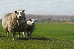 Sheep and lamb on a dike near Baarn,The Netherlands (Simon Christiaanse) Tags: field animals landscape spring europe sheep mother nederland thenetherlands lamb dyke dike ewe baarn eem mammels eembrugge yeanling simonchristiaanse
