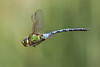 _MG_1463_Anax imperator crop (HelmiGloor) Tags: finest autofocus flickrs anaximperator thegalaxy images1 mygearandme mygearandmepremium mygearandmebronze mygearandmesilver mygearandmegold mygearandmeplatinum mygearandmediamond ringexcellence dblringexcellence flickrstruereflection1 flickrstruereflection2 flickrstruereflection3 flickrstruereflection4 flickrstruereflection5 flickrstruereflection6 flickrstruereflection7 flickrstruereflectionlevel1 flickrstruereflectionexcellence rememberthatmomentlevel4 rememberthatmomentlevel1 flickrsfinestimages1 flickrsfinestimages2 flickrsfinestimages3 rememberthatmomentlevel2 rememberthatmomentlevel3 rememberthatmomentlevel9 unlimitedinsectslevel1 unlimitedinsectslevel2 unlimitedinsectslevel3 unlimitedinsectslevel4 unlimitedinsectslevel5 unlimitedinsectslevel6 unlimitedinsectslevel7 rememberthatmomentlevel5 rememberthatmomentlevel6 rememberthatmomentlevel10 vigilantphotographersunite vpu2 vpu3 vpu4 vpu5 vpu6 vpu7 vpu8 vpu9