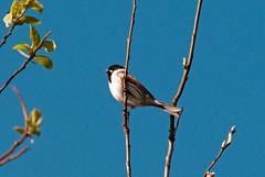 Brandon Marsh (thesetter) Tags: bird warwickshire bunting reedbunting emberizaschoeniclus warwickshirewildlifetrust