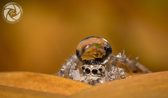 Spider & Drop (RASHID ALKUBAISI) Tags: macro spider n drop 2012 qatar rashid    nno    nikond4 alkubaisi  ralkubaisi mygearandme wwwrashidalkubaisicom