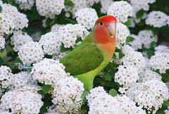 A Splash Of Colour On White Spirea (bigbrowneyez) Tags: flowers orange pet white cute green bird nature beautiful spring wings sweet gorgeous feathers adorable tiny colourful shrub lovebird coloursplash guilty spirea peachfacedlovebird bridalwreathspirea blossos parrotfamily asplashofcolouronwhitespirea