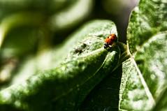 Ladybug (Scripter81) Tags: red verde green primavera nature bug garden insect spring natura ladybird ladybug zucchini fiore rosso brescia insetto giardino zucca zucchine coccinella d700 scripter81